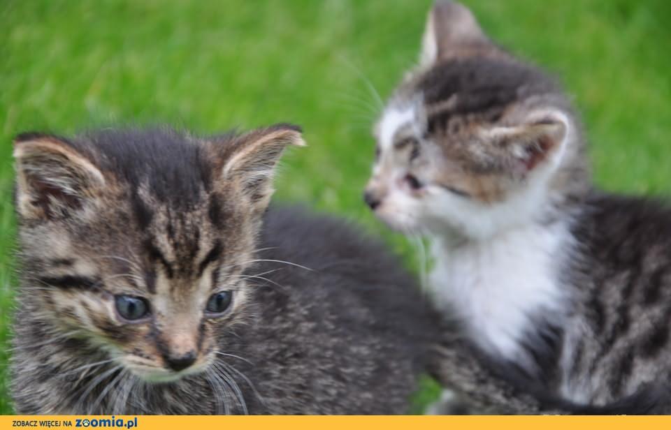 Tyson- dwumiesięczny, koci łobuziak szuka domu ;)