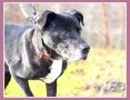Do domu z ogródkiem,gładkowłosy, duży 37 kg,wierny, grzeczny pies BEN_Adopcja_