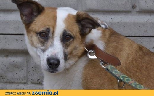 Vika-cicha,spokojna,delikatna,nienachalna suczka do adopcji, 13-15kg,  śląskie Katowice