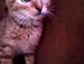 Candy - srebrna kotka z trudnych adopcji