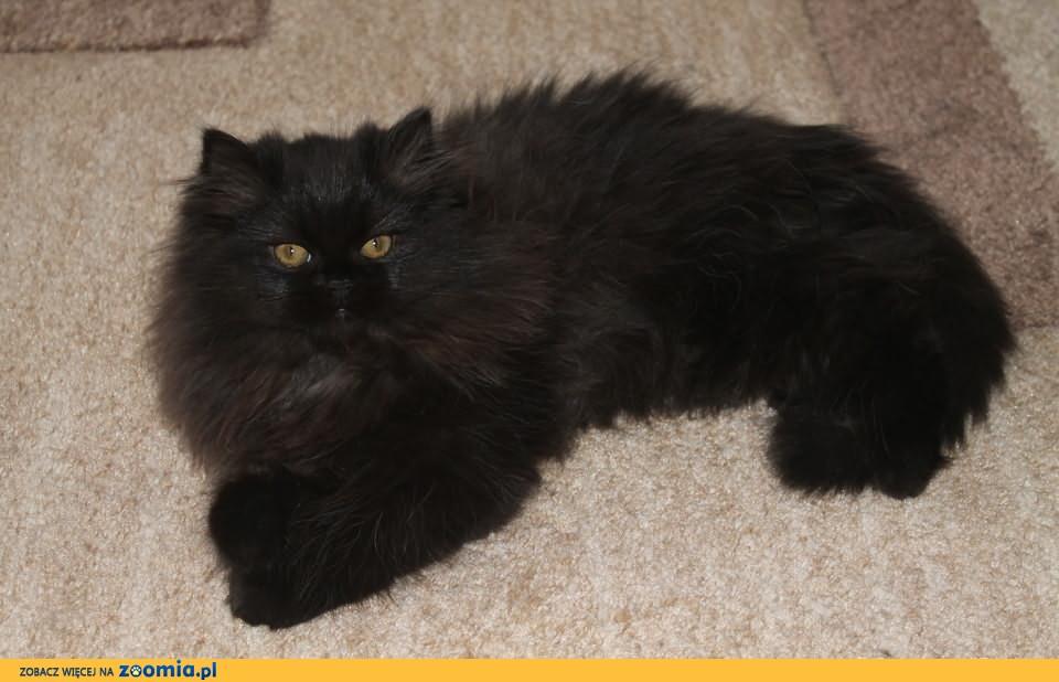 Sprzedam Koteczkę Perską Perski Koty Archiwum Zoomia Pl