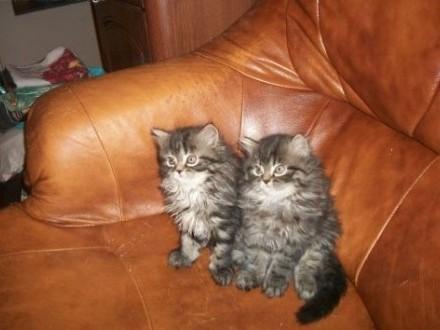 kot perski   warmińsko-mazurskie Giżycko
