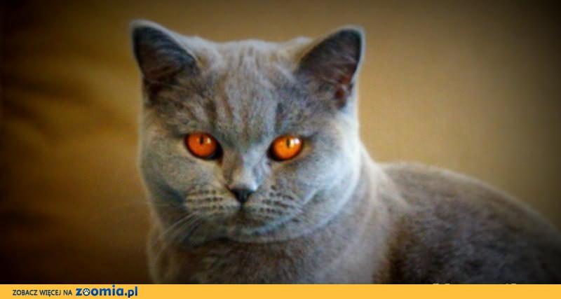 Rodowodowa kotka brytyjska niebieska - JUŻ DO ODBIORU!