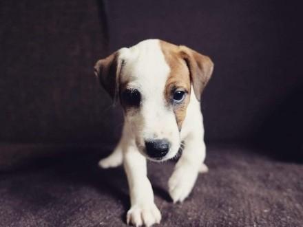 Szczenięta Parson Russell Terrier - Grey Vanilla FCI - gładka  złamana i szorstka suczka
