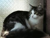 kotki, koty Syberyjskie rodowod FPL do odbioru