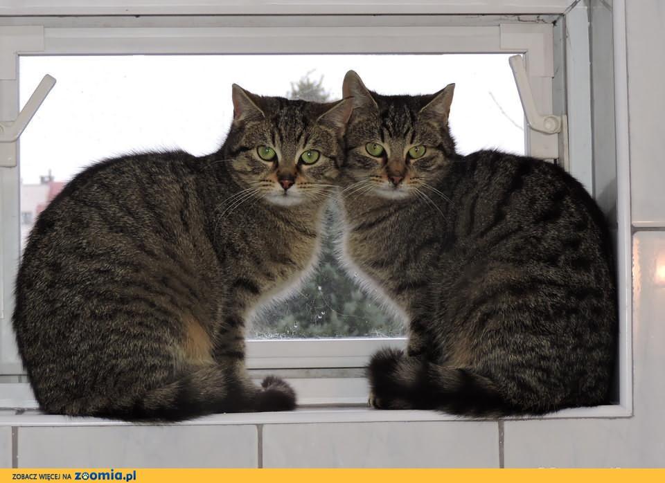 Zupełnie nowe Kot europejski - ogłoszenia z hodowli. Koty europejskie - Zoomia RC98