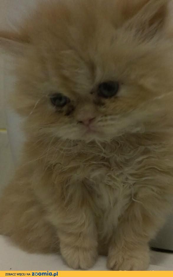 kotek perski kocieta perskie