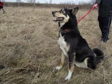 Hasan - spokojny psiak w typie husky szuka domu   pomorskie Gdynia