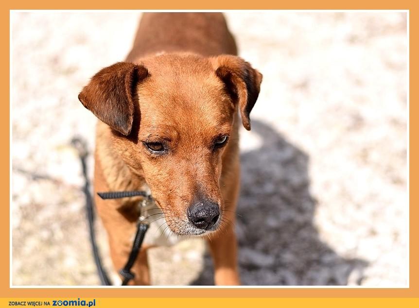 Mały 10 kg, przyjazny,łagodny,grzeczny,rudy psiak DAKAR_Adopcja