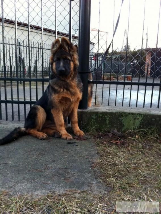 Owczarek Niemiecki Długowłosy Piękny Pies Owczarek Niemiecki