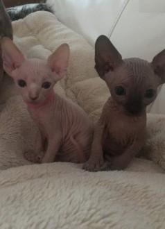 Samce i samice Sphynx Kocięta