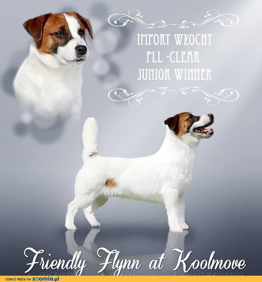 Jack Russell Terrier - REPRODUKTOR FCI gładkowłosy z Włoch