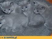 Koty, Kocięta Rosyjskie-Niebieskie z Rodowodami - GDYNIA,  pomorskie Gdynia