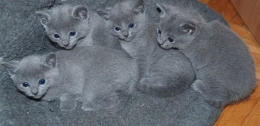 Koty  Kocięta Rosyjskie-Niebieskie z Rodowodami - GDYNIA   pomorskie Gdynia
