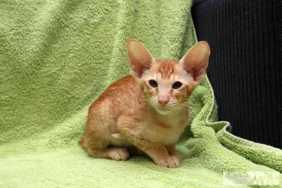 Groovy Rudy Kocurek Orientalny na sprzedaż « Orientalny « Koty « Archiwum BR05