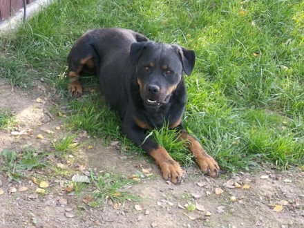 Zbynio – cudowny rottweiler do adopcji