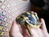 żółw grecki sprzedam