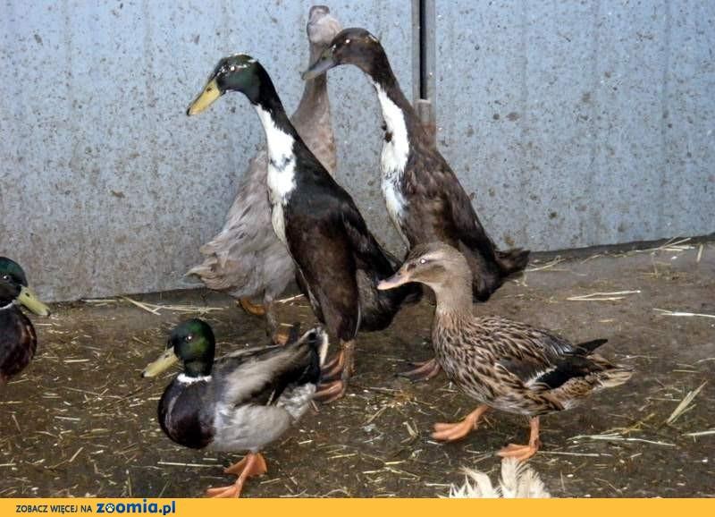 kaczki krzyżówki para