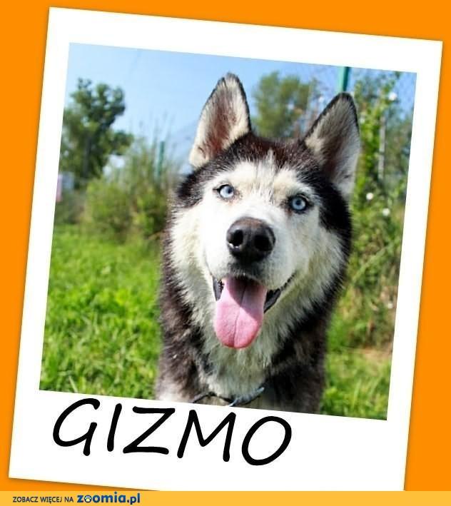 GIZMI-przyjacielski husky mix,łagodny,pro-ludzk.ADOPCJA