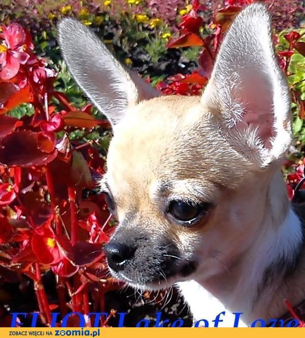 Chihuahua piesek MINI krótkowłosy odchowany              Rodowód