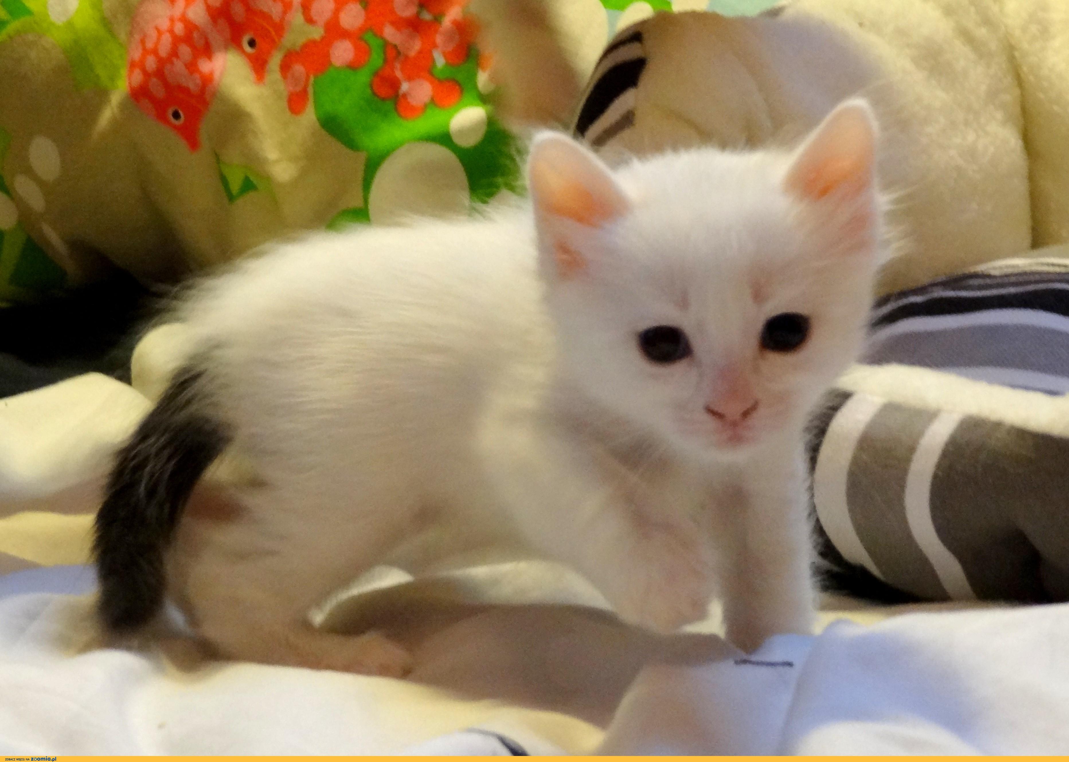Turkish Van Cats Classifieds Zoomianet Ru 1