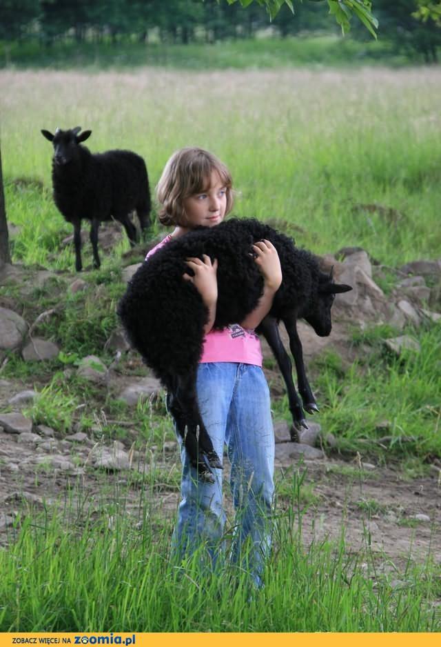 Owce Wrzosówki Niemieckie-Jagnięta -250/szt-przy zakupie min 50szt