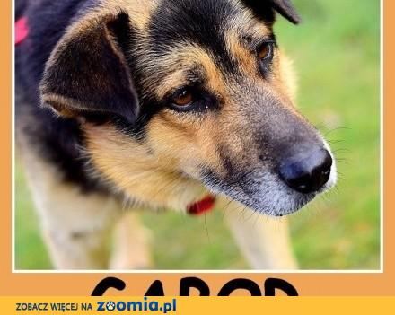 Średni 15 kg łagodny  przytulaśny  grzeczny  rodzinny psiak GABOR_Adopcja