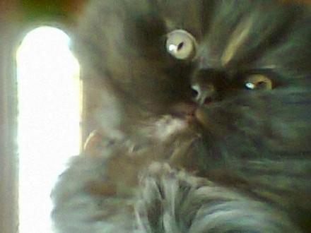 Cudowna Kot perski, Pers - ogłoszenia z hodowli. Koty perskie / Zoomia.pl pl 1 MT61