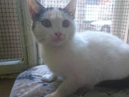 Roczna  wystrylizowana kotka Truskawka szuka domu