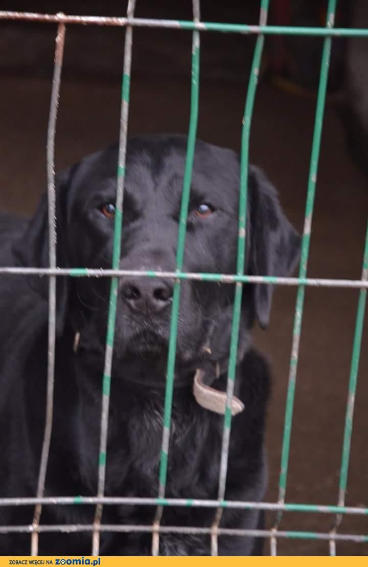 Nero - piękny, silny labrador szuka odpowiedzialnego domu