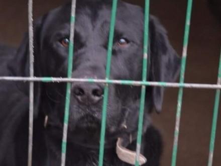 Nero - piękny  silny labrador szuka odpowiedzialnego domu