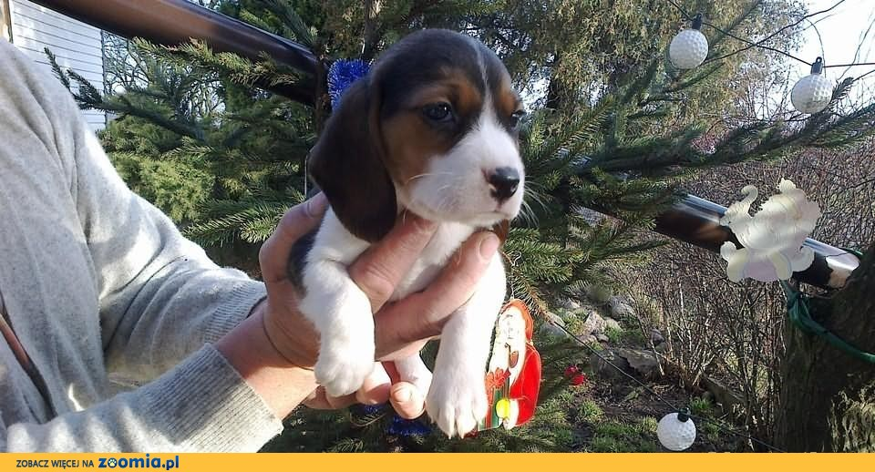 Beagle-szczeniaki