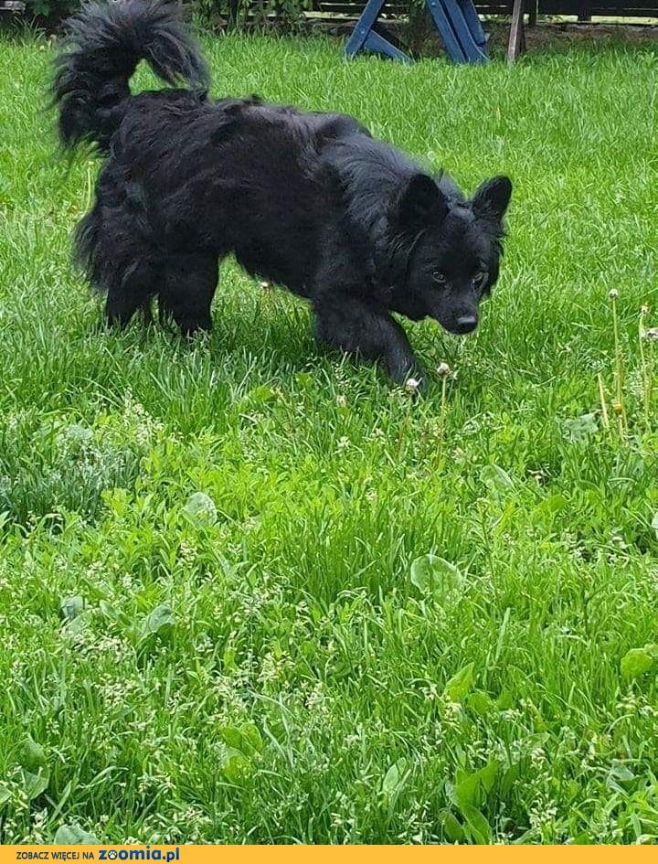Bonia - zjawiskowe, kudłate cudo do adopcji ,  kujawsko-pomorskie Toruń