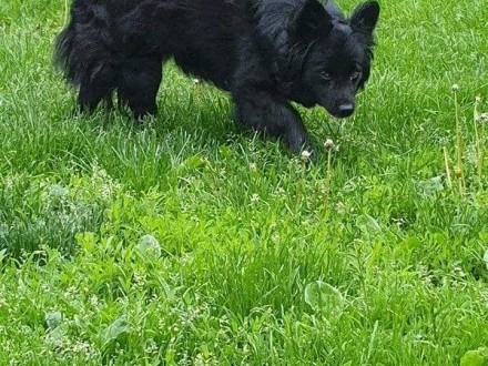 Bonia - zjawiskowe  kudłate cudo do adopcji    kujawsko-pomorskie Toruń