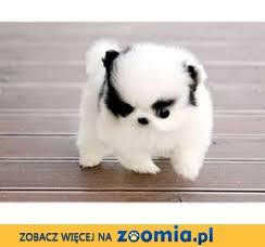 Boże Narodzenie Prezent Dostępne szczenięta Pomeranian pierwszej klasy