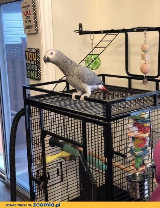 Afrykańskie papugi szare dostępne już teraz,  mazowieckie Białobrzegi