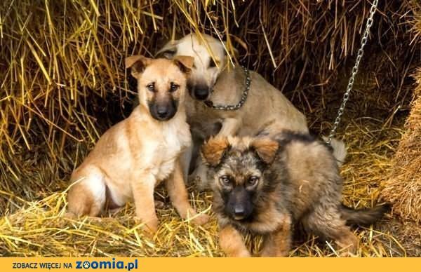 Wiejskie, prześliczne szczeniaki szukają dobrych domków :)
