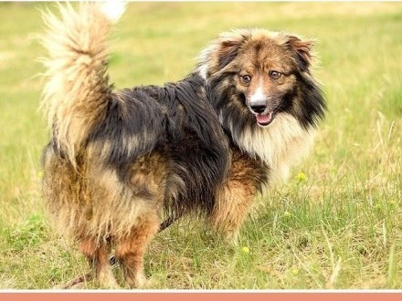 Średni 15 kg długa sierść krótkie łapki  przyjacielski pies MUSZU_Adopcja