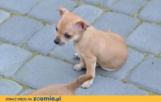 Szczeniaki Chihuahua suczka i pieki ,  lubelskie Biała Podlaska
