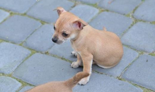 Szczeniaki Chihuahua suczka i pieki    lubelskie Biała Podlaska