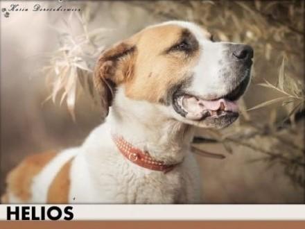 Stóżujący bernardyn mix młody czujny odważny pies HELIOSAdopcja   mazowieckie Warszawa