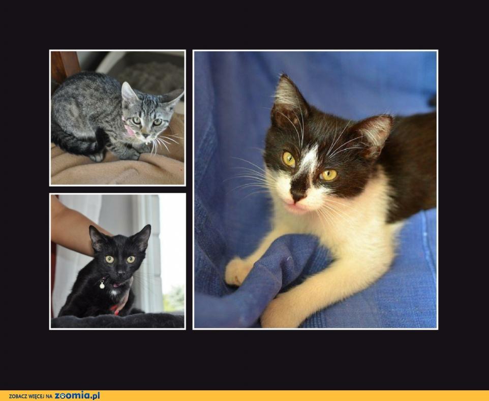 6 kociąt do adopcji, kociczki i koty, wspaniałe maluchy!
