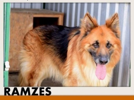 RAMZES owczarek mix uratowany pies do domu z ogrodemADOPCJA   śląskie Katowice