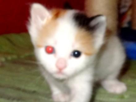 Turecki Van Kot Pełen Tajemnicy Kocieta Turecki Van Koty