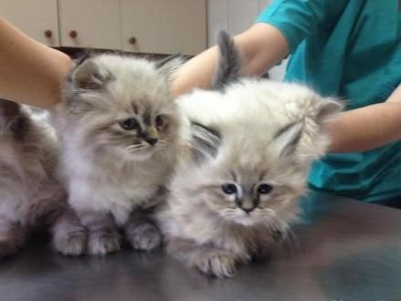 Neva Masquarade Cats Classifieds Zoomianet En 1