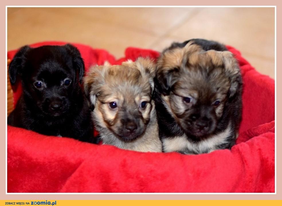 6 tygodniowe szczeniaki, zaszczepione, odrobaczone,piesek i 2 suczki_Adopcja_
