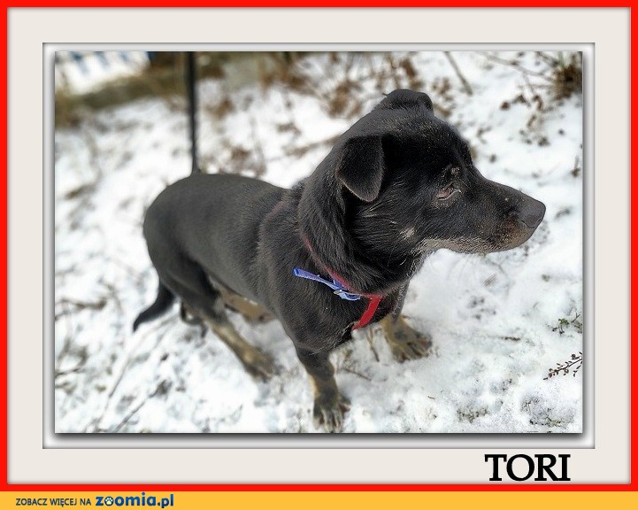 Mały 6 kg,sympatyczny,aktywny,wesoły,zaszczepiony psiak TORI_Adopcja_