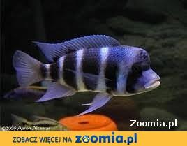 Rybki pyszczaki cyphotilapia frontosa burundi