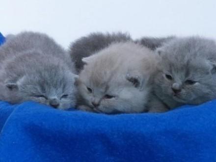 Brytyjskie kocięta z rodowodem FPL