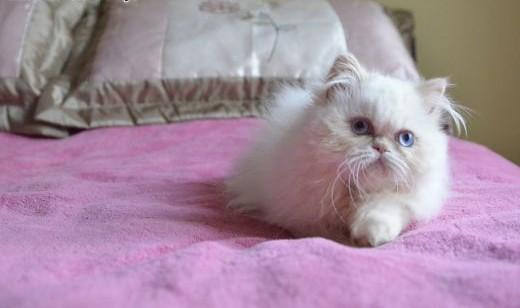 Kocieta perskie colourpoint   dolnośląskie Legnica